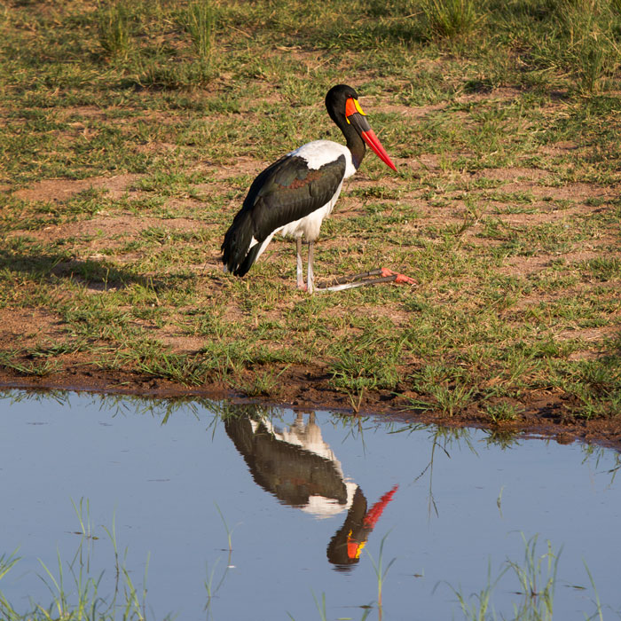 A male Saddlebilled stork takes a break from frog hunting. His black eye and yellow wattles near the bas of his bill differentiate him from the female of the species, who has a yellow ring around her eyes and no wattle.