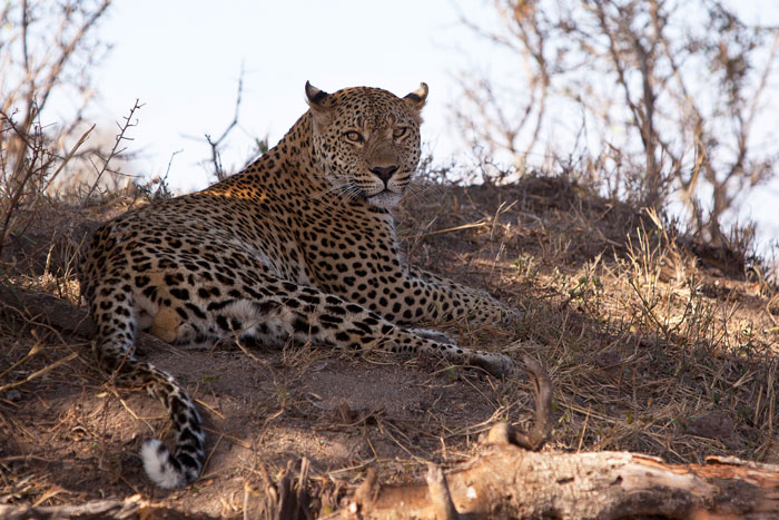 The same male leopard exactly three years later. He has moved off into the south western areas of Londolozi