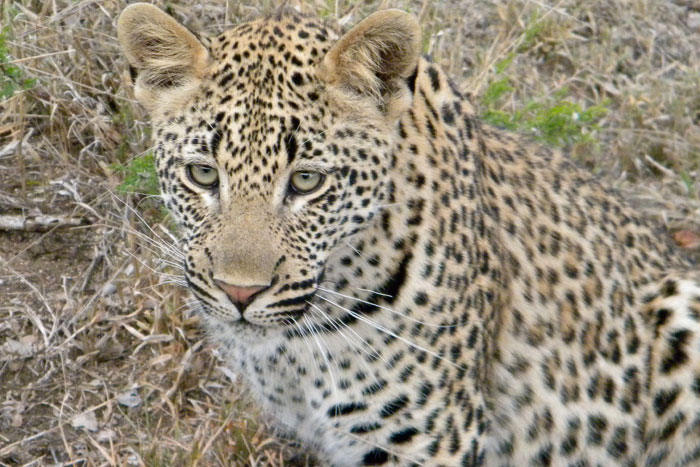 Photograph taken in June 2009 of the Maxabeni 3:2 young male (pink nose)