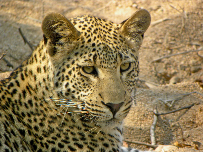 Photograph taken in September 2009 of the Maxabeni 3:3 young male (black nose)