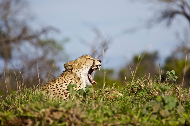 Yawning Cheetah