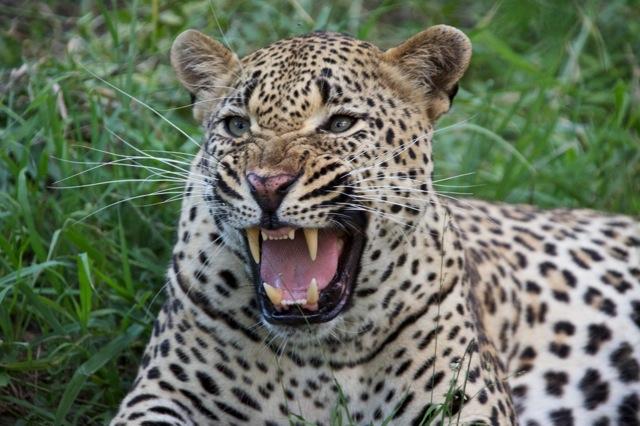 Hissing leopard