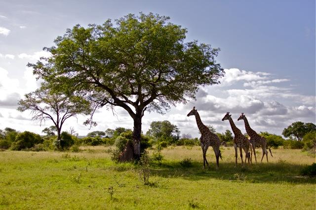 A Journey of giraffes