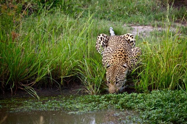 Leopard drinking at a waterhole