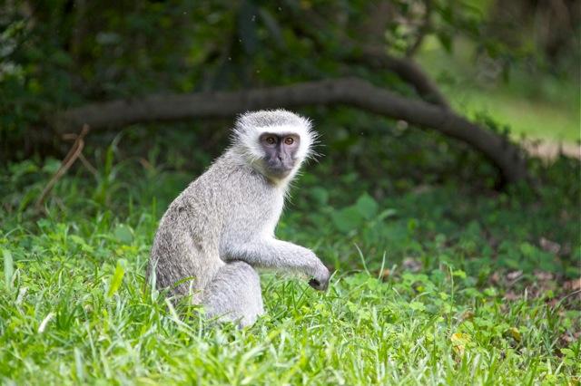 Vervet Monkey in Camp