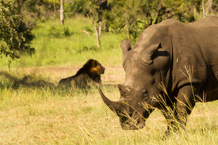 the same sighting. Two of the Majingilane rest in the shade while the rhino stands warily nearby.