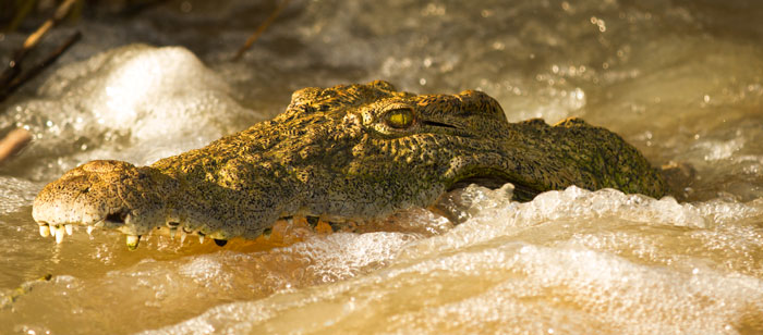 The Sand River's apex predator, the Nile Crocodile. This individual has been hanging around the causeway quite a lot recently, waiting for fish to stray too close to his jaws.