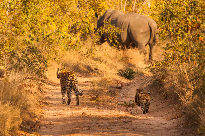 One of James' favourite photos. The Ravenscourt female leopard and her two cubs from 2012 approach a massive white rhino bull.