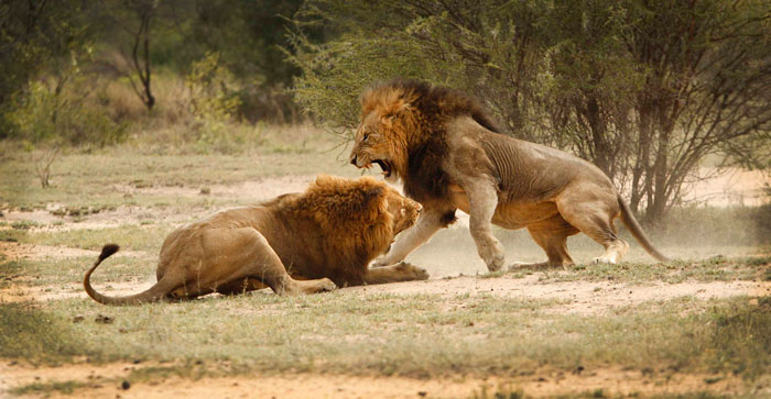 An incredibly dramatic scene as two of the Majingilane fight for mating rights to the Sparta females.