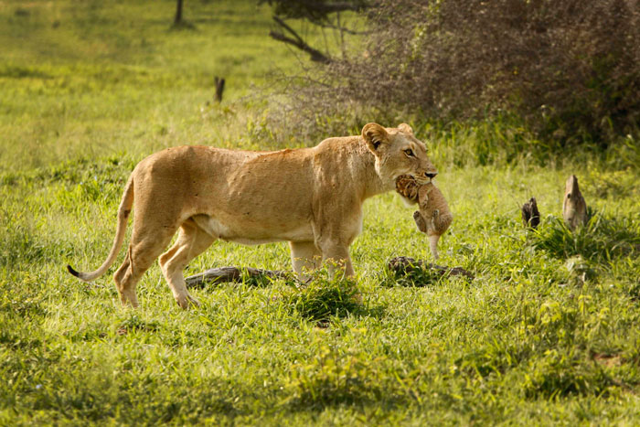 James' favorite sighting. A lioness from the Sparta pride carries her few-days-old cub to a new den-site.