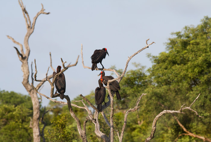 A family of ground hornbills finds a convenient perch atop a dead leadwood tree. These birds are endangered but are still regularly encountered at Londolozi.