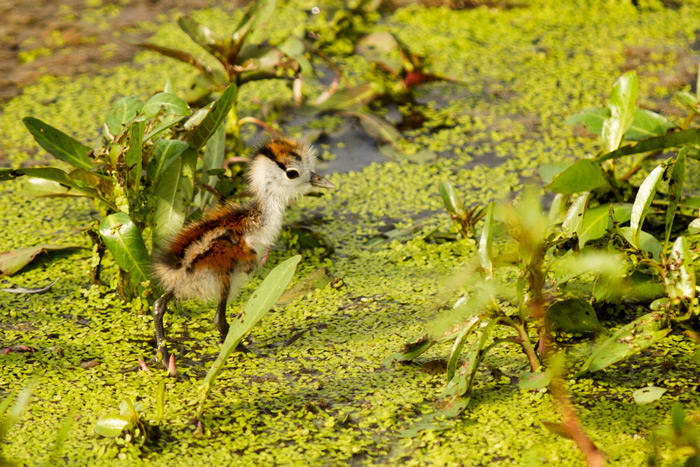 Probably the cutest thing I'll see for a long time. An African jacana chick scurries across the duckweed and lilies towards the safe wings of its father.