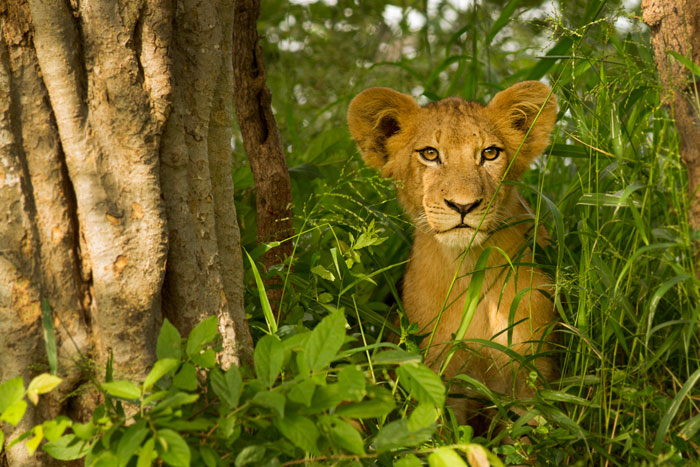 The Sparta pride cub with the enormous ears.  This was the same morning that we think the pride was robbed of a zebra kill by the Tsalala lionesses. The Sparta cubs and lionesses were active well into the morning's heat; unusual for this time of year, but allowing for some fantastic photographic opportunities. Here, the cubs had been stalking some francolins on a termite mound.