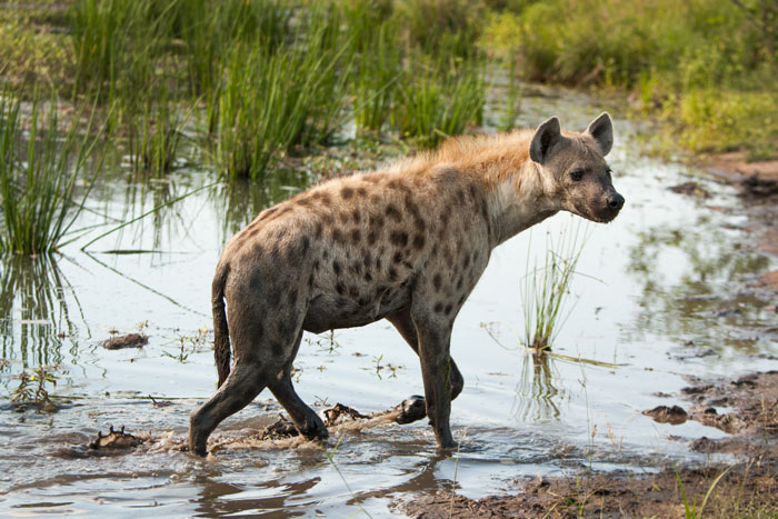 Sights like this were common place 18 months ago as we set out for morning game drive. These days, hyena sightings away from dens are far less common...