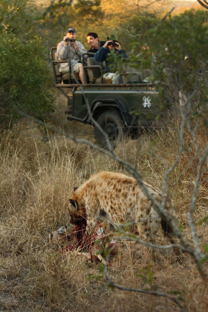 This hyena had just robbed the Nyelethi 4:3 young male of a freshly caught impala. The leopard had taken it down in the gwarrie thickets after a long stalk, but the hyena had heard the alarm snorts of the impala as scattered. Before the leopard could catch his breath after the kill, he had been robbed!