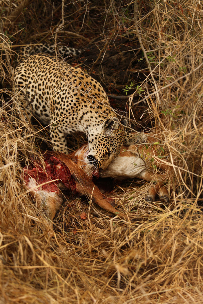 The Maxabene female on an impala kill. Slightly too heavy to hoist straight away, she had dragged it into a drainage line for cover. This was not to save it, for the smell of the kill filtered through the morning air...