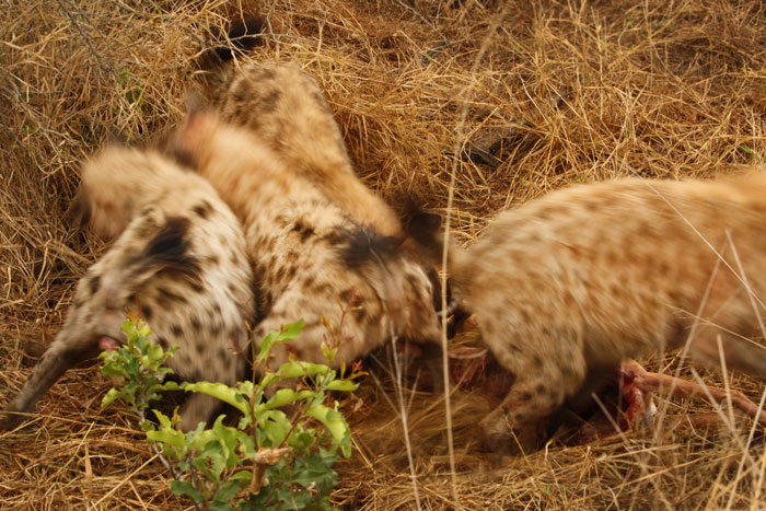 This photo was taken literally 5 seconds after the previous one. 8 hyenas came racing in to claim Maxabene's kill.