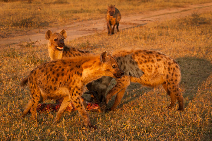 Four hyenas finish off the carcass of an impala ram. The impala had been killed by a rival male during the rut. Four hyenas around a kill is an uncommon sight at the moment.