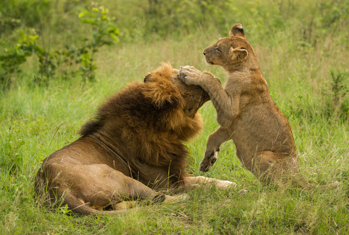 Hip-scar in a playful mood with one of the Sparta pride cubs.