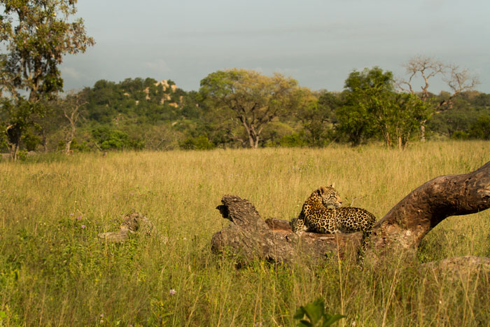 One of the Ximpalapala youngsters scans the clearings on a Summer's morning. The koppie after which these leopards are named can be seen looming in the background.