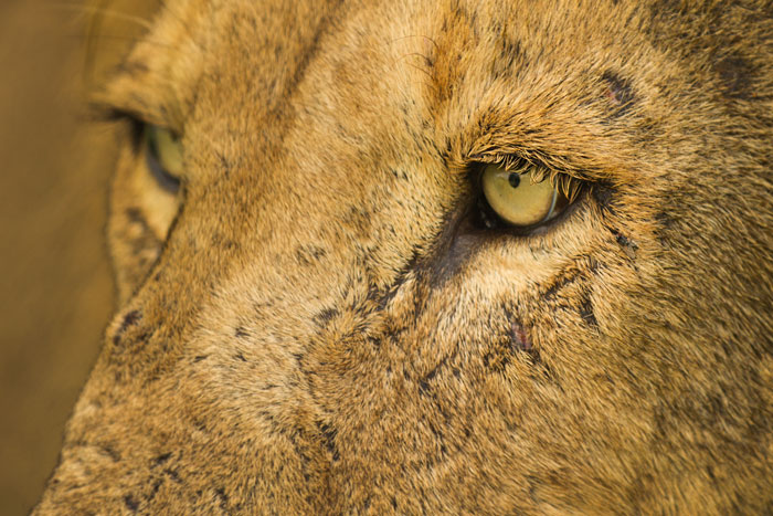 A close-up of the left eye of the Hip-Scar Majingilane. He is my favourite of the four coalition-mates. His richer and darker coat coloration, allied with his striking yellow eyes, give him an aesthetic beauty that the other three cannot match, at least in my opinion.