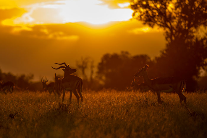 A pair of impala enjoy the sunset together on Fluffies Clearing. Their abundance at Londolozi can lead to them being overlooked, but spending time with them can lead to some beautiful scenes.