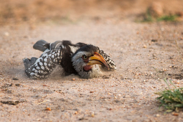 A slightly irate looking yellow-billed hornbill enjoys a dust bath in the sand overlooking the Manyelethi River. Dust-bathing fulfills a vital function for many bird species, helping them to control parasites
