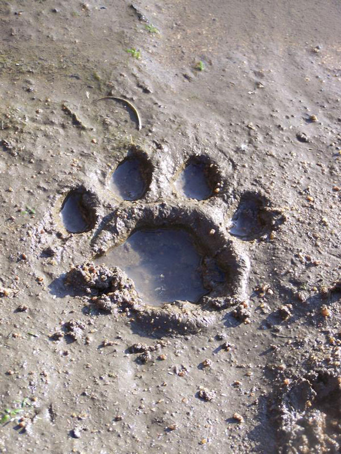 The track of a lioness