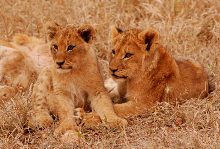 Hard to believe it, but when I started working at Londolozi this is what the Breakaway Tsalala Lionesses looked like. This picture, taken by David Dampier, shows two of the eight cubs that were born into the Tsalala Pride in late 2008/ early 2009.