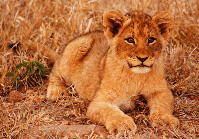 Another picture of a Breakaway Tsalala lion when she was younger. It is wonderful when things come full circle and the lion cub, that you once watched, has now grown up and having cubs of her own. - David Dampier