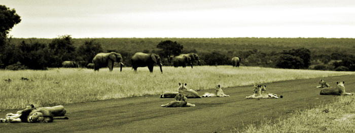 A photograph taken close on four years ago of the Londolozi Airstrip, the Tsalala Pride, a herd of Elephants and the legendary Kinky-Tail Mapogo Male in the foreground. This male, and his late-brother Satan, are the fathers of the Breakaway Tsalalas