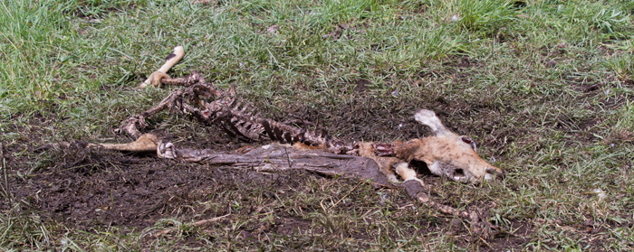 Stripped carcass of impala after vultures fed on it