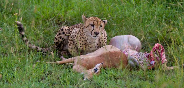 Cheetah eating impala