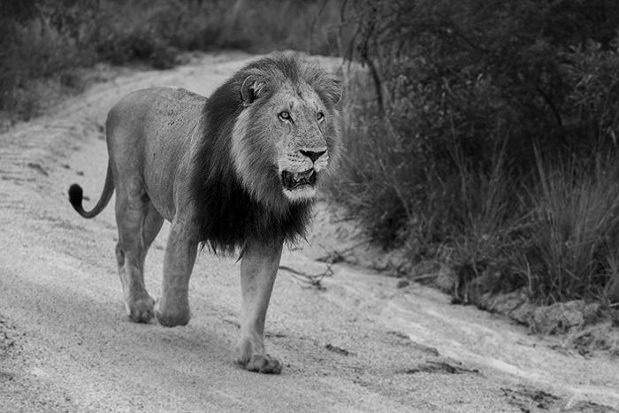 The Dark Mane Majingilane Male