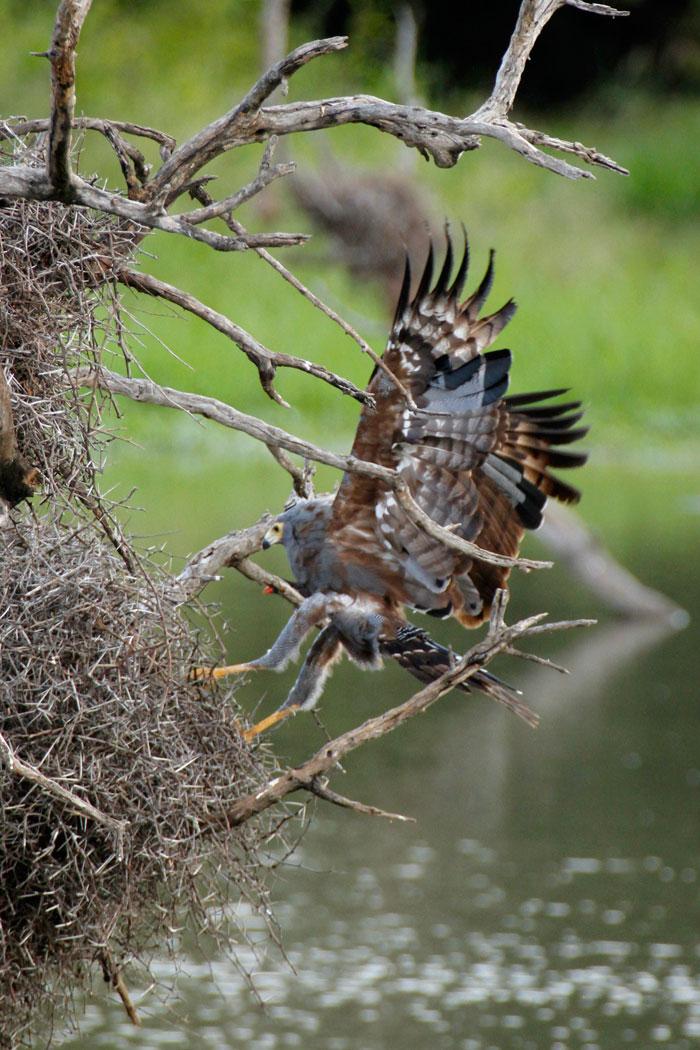 Juvenile African Harrier Hawk raids a Red-billed Buffalo Weaver nest