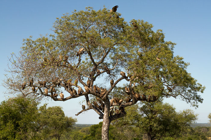 A wake of vultures festoons a marula tree near the site where the mother cheetah and her cubs were feeding on an impala kill. f7.1, 1/1600, ISO 320