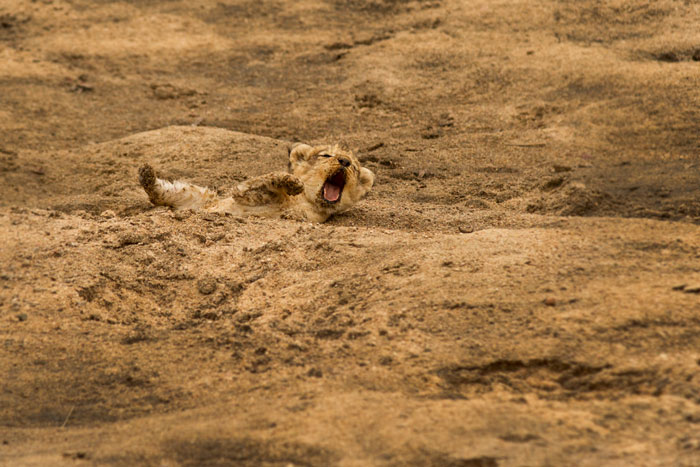 The little cub again, isolated form its mother, yawns while it rolls around in the sand. f3.5, 1/1000s, ISO 160