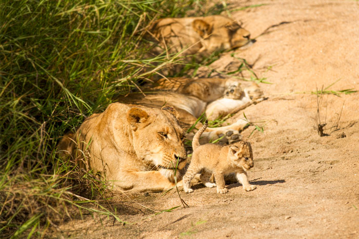 The newest edition to the Tsalala pride. This tiny, tiny cub is scarcely a few weeks old, and is dwarfed by its aunt as it totters around the sandy Manyelethi riverbed. f3.2, 1/1250, ISO 100