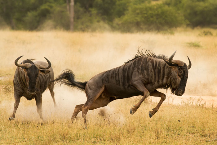 Two wildebeest bulls chase each other around Fluffies clearing. The pursuit lasted for over 15 minutes, with both males reduced to an exhausted trot by the end. f4.5, 1/1000s, ISO 320