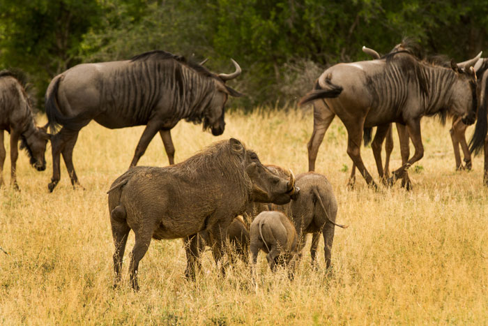 A large male warthog, minus part of his tail, watches over his sounder while some wildebeest file past in the background. f6.3, 1/400, ISO 500
