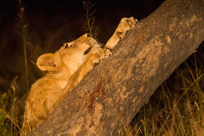 A Sparta pride cub sharpens its claws on a fallen marula tree. All the cubs had a go sharpening their claws on this same tree, and as one can see, the claws already look lethal! f2.8, 1/125s, ISO 6400