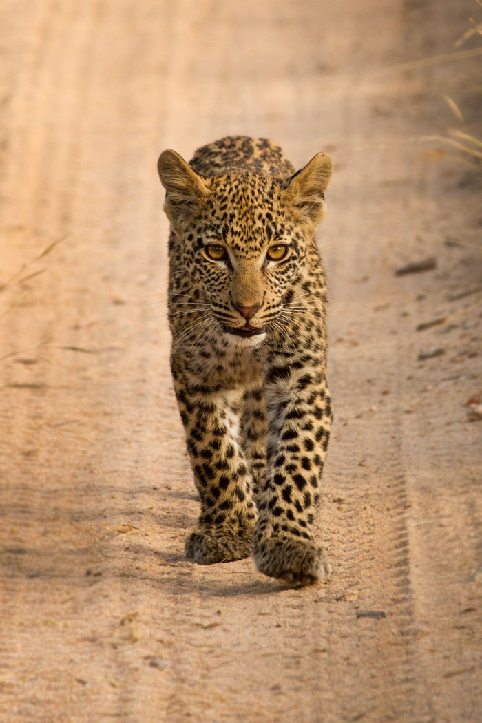 The cub of the Mashaba female leopard, wonderfully relaxed around vehicles these days, saunters casually towards us. f5, 1/400s, ISO 160