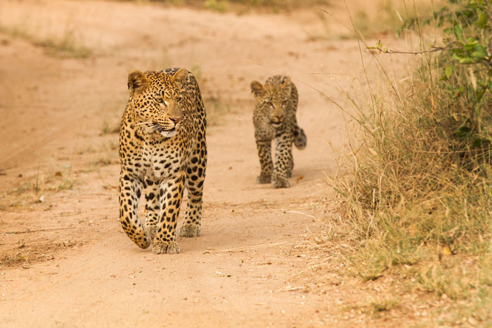 The Mashaba female and cub. f4.5, 1/200s, ISO 320