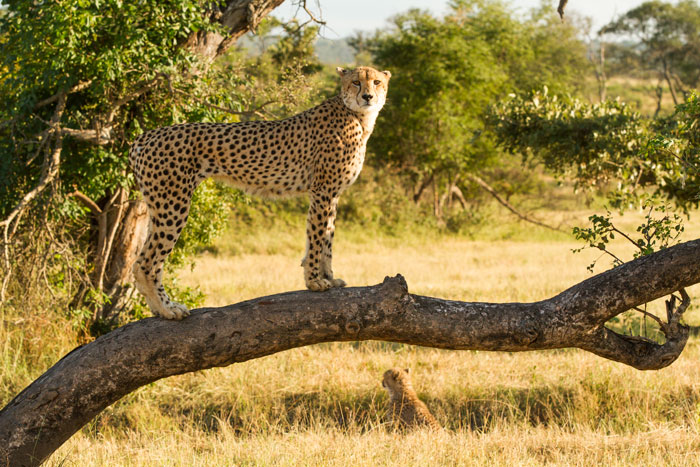 The standard cheetah-on-fallen-log photo, but this time with a difference. Look beneath the fallen trunk... f6.3, 1/500, ISO 320