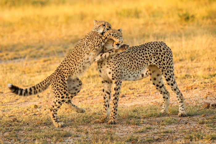 The mother cheetah and one of her cubs in a playful mood. f3.2, 1/500s, ISO 320