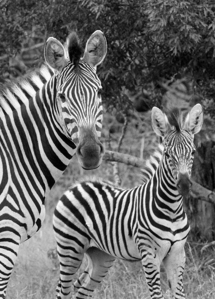 Zebra and foal.