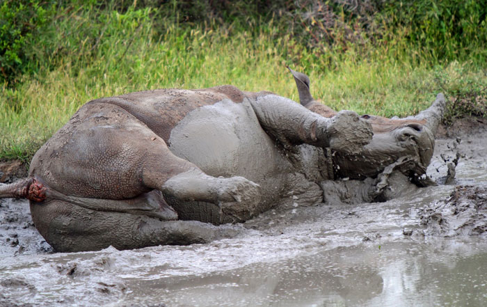 A white rhino engaged in some serious wallowing