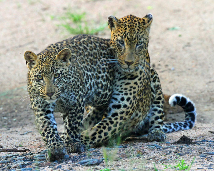 The Vomba female and her cub