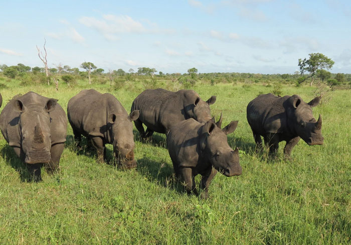 A rather intimidating crash of white rhinos.