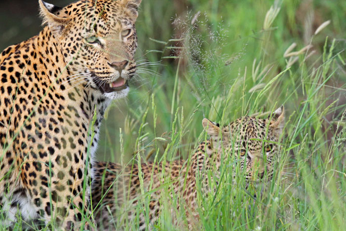 The Mashaba female leopard and her cub.